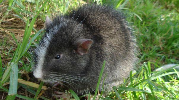 chinchilla rat in machu picchu